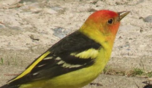Spring has sprung – a cheerfully colourful western tanager spotted on its way through Wildwood! Thanks to Charles LaBerge for sending this Photo.